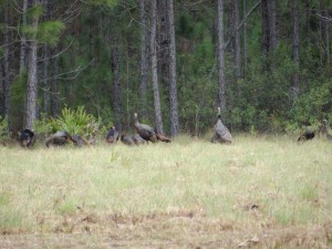 osceola-florida-turkey-hunting-002