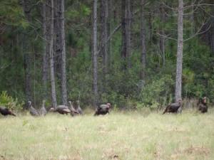 osceola-florida-turkey-hunting-004