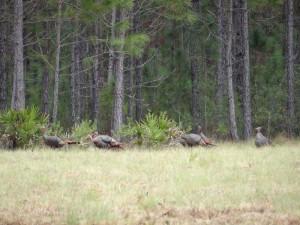 osceola-florida-turkey-hunting-005