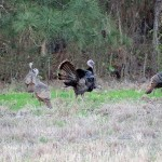 osceola-florida-turkey-hunting-022